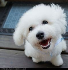Happy 8 month old Bichon Frise Max with the cutest, bestest smile! @maxbichonpuppy For more cute dogs and puppies