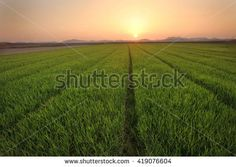 A big green rice field with green rice plants in rows as the sun sets over another day in Asia.