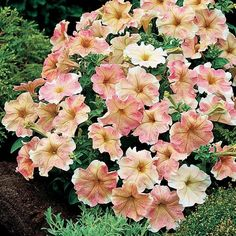 Dolcissima Flambe Petunia ...  ordered these today :)