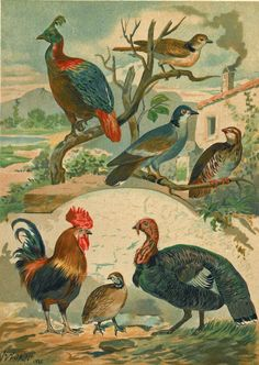 Gallinaceous, 1883.  Brehm's Life of Animals.