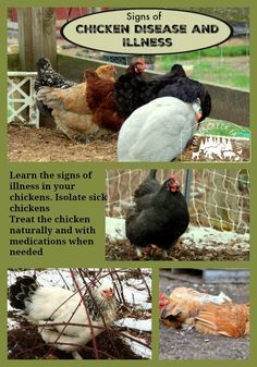 Learn the signs of illness in your chickens. Isolate sick chickens. Treat the chicken naturally and with medications when needed.