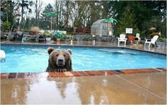 Naturalist Casey Anderson adopted a grizzly bear named Brutus and brought him home. Now, the two are best friends, and Brutus has become part of the family. Animal Pictures, Funny Pictures, Funny Pics, Funny Animals, Cute Animals, Wild Animals, Funny Bears, My Pool, Bear Cubs