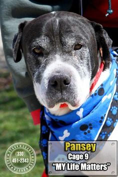TRANSFERRED TO H.S! Meet 09 Pansey, a Petfinder adoptable Shar Pei Dog | Canton, OH | Release date 4/6.  Pansey seems to be a dream dog, a little gray on the edges but hopefully has a...