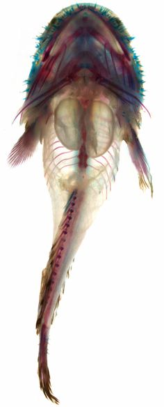 Transparent specimen of three-spined toadfish  // A transparent toadfish specimen reveals its two-chambered swim bladder (center). Aaron Rice
