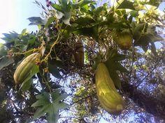 Λούφα, το σφουγγάρι της στεριάς: Καλλιέργεια Trees To Plant, Athens, Seeds, Nature, Plants, Geo, Dreams, Gardens, Naturaleza