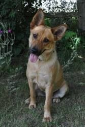 Pansy is an adoptable German Shepherd Dog Dog in Pelham, NH. Pansy is a 3 yr old female German shepherd mix who was recently surrendered by her family due to divorce.� She is not good with cats but is...