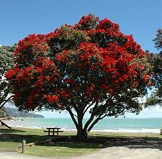 The beautiful Pohutukawa tree, known as NZ's Christmas tree because the bright red flowers appear in December.