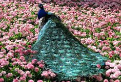 Peacocks-Wallpapers16 Weird Peacocks Wear Wedding Dresses
