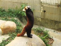 A red panda standing on its feet - Imgur