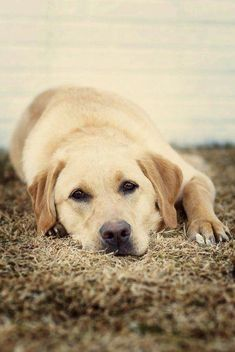 Mind Blowing Facts About Labrador Retrievers And Ideas. Amazing Facts About Labrador Retrievers And Ideas. Lab Puppies, Cute Puppies, Cute Dogs, Labrador Golden, Labrador Puppies, Animals Beautiful, Cute Animals, Golden Retrievers, Retriever Dog