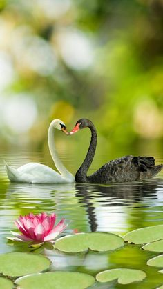 Black and white swans....heart....love!!!!!