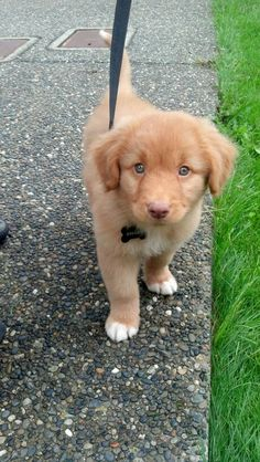 Rolley at 8 weeks, Nova Scotia Duck Tolling Retriever Puppy