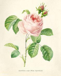 Public Domain | Antique plant drawn by Pierre-Joseph Redouté(1759-1840 ) | premium image by rawpixel.com