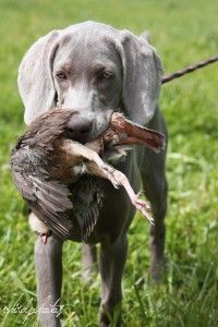 Starting a Weim Pup in the Field