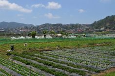 strawberry field, la trinidad a.a salad bowl of the philippines Trinidad, Strawberry Fields, Places Ive Been, Philippines, Attraction, Salad, Fun, Travel, Outdoor