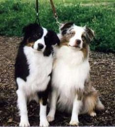 Mini Australian Shepherds:  I swear by these dogs, they are soooo smart!