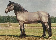 ORIGIN The Noriker is native to Austria which roughly made up the ancient Roman Province of Noricum from which the breed acquired its name. The breed now is found in Italy, the Czech Republic, the former Yugoslavia and Germany, where it is known as the South German Coldblood.