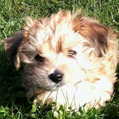 Our lil morkie puppy bentley.