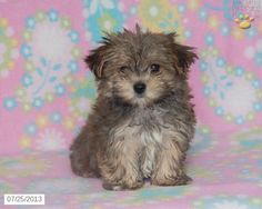 Our new morkie, Baylee
