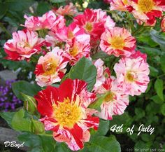 'Fourth of July' Rose Photo