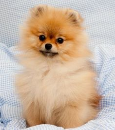 #pomeranian #cute #dog
