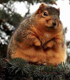 fun animals | fat squirrel