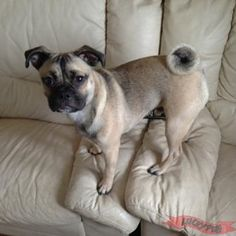 Marley the Frenchie Pug Frug 04