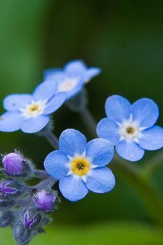 Forget Me Nots by neilcreek, via Flickr