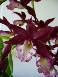 Orquídea Phaiocalanthe                                                                                                                                                                                 Mais