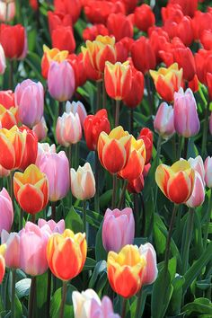 Keukenhof Gardens, Holland Would love to go to Holland sometime to see the beautiful tulips