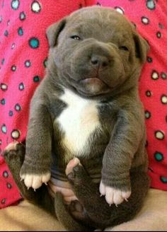 Beautiful Staffordshire Bull Terrier puppy