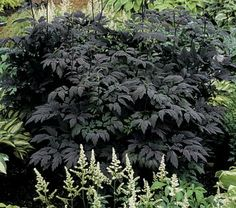 Garden Glitter: Gardening In Black--Black Plants Continued...