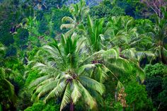 Rain Forest Indonesia, Great Indonesian Coconut Trees