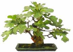 árvore figueira bonsai - Pesquisa Google                              …