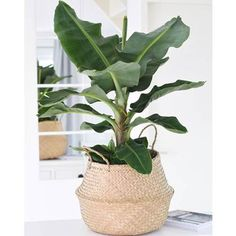 inspiration for a banana plant in your interior - Eigen Huis en Tuin - Inspiration for a banana plant in your interior Inspiration for a banana plant in your home - Tropical Plants, Cactus Plants, Garden Plants, Cactus Flower, Potted Plants, Hanging Plants, Indoor Plants, Yucca, Banana Plants