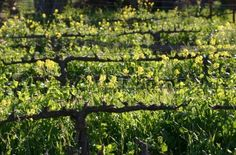 Wild mustard cover crops improve nitrogen cycling and can control weeds