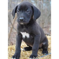 Meet Duke~, a Petfinder adoptable Black Labrador Retriever Dog   Jersey City, NJ   Duke is a very sweet little 9 week old male Lab Border Collie mix puppy. We rescued him from a...