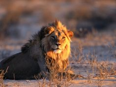 lion Animals Of The World, Animals And Pets, Cute Animals, Lion Sketch, Lion Love, Small Cat, Wombat, My Spirit Animal, Leopards