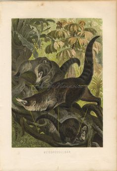 Antique print of White-nosed coati, 1890 old coatis lithograph, mammals engraving, curiosity funny oddity zoology plate. Coatimundi, Framed Artwork, Wall Art, Animal Art Prints, Antique Prints, Vintage Decor, Find Art, Mammals, Giclee Print