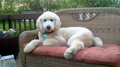 Bosley our Standard Poodle