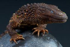 Borneo Earless Monitor (Northern Borneo) / Lanthanotus borneensis via featuredcreature.com