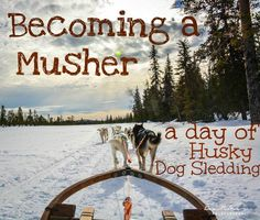Becoming a Musher - A day of husky dog sledding through the forests of Swedish Lapland. Lots of photos of adorable huskies! Puppy Training School, Dog Training, Finland Travel, Military Working Dogs, Husky Puppy, Alaska, Dog Lovers, Puppies, Adventure
