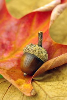 Acorns...beautiful colors