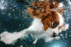 """Monty - 6 mos old Cavalier by award winning photographer Seth Casteel from his newest book """"Underwater Puppies"""", Courtesy of Little, Brown, & Co publisher. ♥"""