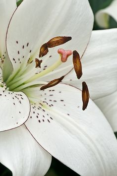 Lilium 'Eyeliner' photographed at Longwood Gardens' Lilytopia exhibit by Cindy Dyer