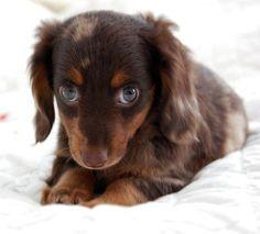 Sweetie..longhair choc dapple doxie