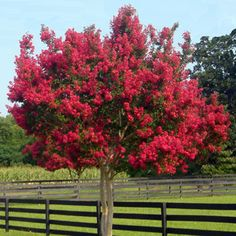 Sugar maple wonderful large tree slow growing shade tree mature height 60 39 fall colour - Decorative trees with red leaves amazing contrasts ...
