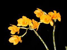 Andy's Orchids - Species Specialist - Dendrobium - chryseum (clavatum Thailand)