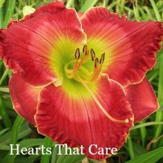 """(Holley 2012) clear red highlighted with lighter red halo, gold picotee, & bright green throat, 6.5"""" bloom, 28"""" tall, EM Re"""