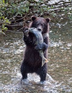 BROWN BEAR that live near the coast feed on fish, particularly salmon. These bears will grow much larger than others because of their protein rich diet.